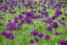 "30 X ""ALLIUM PURPLE SENSATION"" LATE SPRING FLOWERING BULBS FREE P&P. EARLY ORDER"