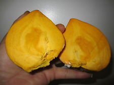 "14"" Canistel Yellow Sapote Tropical Plant Pouteria campechiana cây trứng gà"