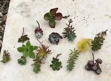 6 Assorted Succulent Sedum Cuttings (Hardy Alpine, all different)