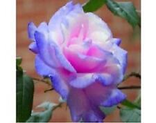 Stifling Remorse Rose Seeds (20) - USDA Inspected - Free Shipping - USA Seller