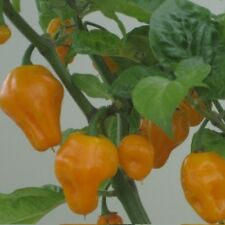 Chile-Trinidad PERFUME Pimienta - 10 semillas