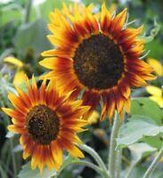 Sonnenblume Twilight Zone - Sunflower 5+ Samen - Saatgut - Gemüsesamen