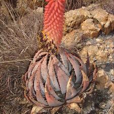 50 Seeds - Peglar's Aloe - Aloe peglerae