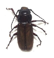 Cerambycidae. Archetypus fulvipennis. Peleng Is (3)