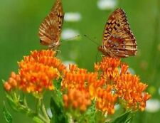 BUTTERFLY WEED  25 FRESH SEEDS FREE USA SHIPPING MILKWEED ASCLEPIAS TUBEROSA