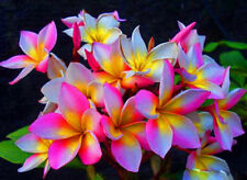 """ROUGLINE""FRAGRANT PLUMERIA CUTTING WITH ROOTED 7-12"" WITH CERTIFICATION"