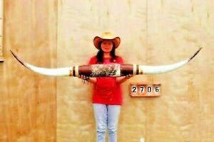 "STEER LONG HORNS MOUNTED 6' 1"" COW BULL SKULL TAXIDERMY LONGHORN LH2706"