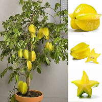 WO_ 50× Thai Star Fruit Seeds Juicy Carambola Exotic Tree Seed High Germination