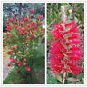 Callistemon Capt. Cook Seed Dwarf  1m Red Bottlebrush Evergreen