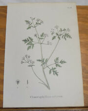 1834 Medicinal Plant Print///POT HERB LIKED BY COWS, or CHAEROPHYLLUM SATIVUM