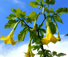 Brugmansia Sanguinea Aurea golden angel's trumpet flowering tree seed 10 seeds