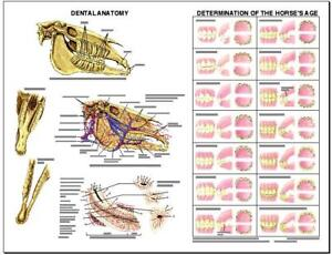 Equine Dental Anatomy Wall Chart #3 LFA  #2538 Horse