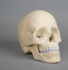 anatomisches Modell, Schädel, skull Osteopathie, 22 Teile