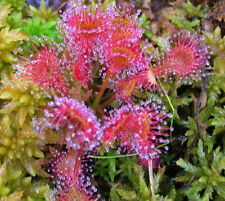 FREE POST AUSTRALIA CARIVOROUS FLY INSECT TRAP PLANT SUNDEW SEEDS