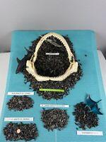 Lot Of 50 (A) Quality Fossilized Shark Teeth & BONUS Items From Venice Fl.