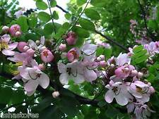 50 Seeds of Cassia javanica Pink Shower Apple Blossom Tree Rainbow Shower Avenue