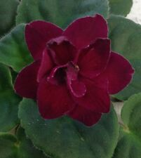 African Violet Plant- Vampire's Kiss (2 Inch Pot)