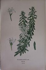 c1910 BOTANY PRINT MYOPORUM PARVIFOLIUM by EDWARD STEP