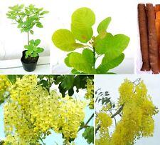 Indischer Goldregen mit Manna-Früchten, eine Zimmerpflanze die auffällt !  Samen