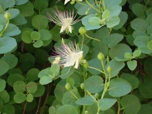 Alcaparras semillas originales garantizada germinacion