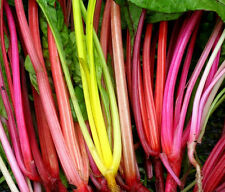 200 Seeds Perpetual Spinach Brightly colored Swiss Chard Garden Vegetable Seed