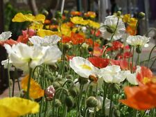 35+  POPPY ICELAND, CHAMPAGNE BUBBLES, PAPAVER / DEER RESIST PRIMED FLOWER SEEDS