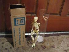 Human Anatomy Skeleton by Ideal Model 5228