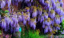 CHINESE WISTERIA sinensis rare flowering purple climbing vine seed 10 seeds
