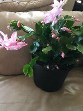 4 Light Pink Thanksgiving cactus cuttings