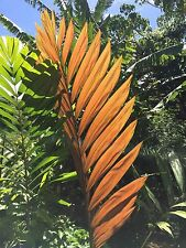 (Chambeyronia macrocarpa) 10 seeds - RED LEAF Flame Thrower Palm, fresh, clean.