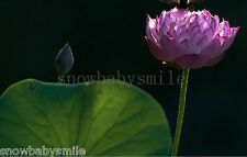 10 Purple Lotus Seeds Water Lily Pad Nymphaea Nelumbo Nucifera Pond Plant Flower