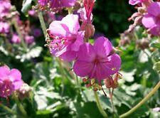 2 plants de géranium vivace macrorrhizum rose -  Odorant - BIO