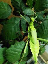 25 Eier Heteropteryx dilatata,Dschungelnymphe, Phasmiden, Phasmids Stick Insect