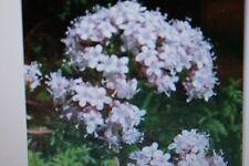 20 graines de valériane, valeriana officinalis, # 20