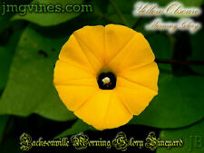 Yellow Obscure Ipomoea Obscura Morning Glory 6 Seeds