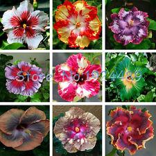 Japanese bonsai hibiscus seeds 50PCS garden patio potted flowers Mix Color