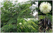 10 seeds of Leucaena leucocephala,white mimosa, seed , C