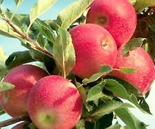 Gala Apple Tree Plant -5 Seeds- Grow Your Own Tasty Apples