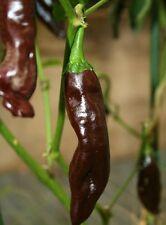 Bereber Brown Chili Chilli Seeds Organic Seeds    Rare Variety