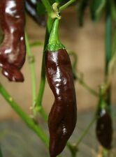Bereber Marrón Chili Chilli Hot PEPPER SEEDS Rara Variedad