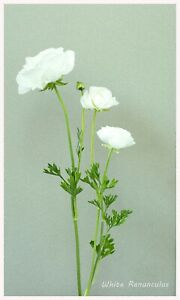 """Reproduction Limited Edition """"White Ranunculus"""" Floral Print, Size 12"""" x 20"""", Ho"""