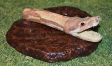 Real Taxidermy Ultra Rare Red Dragon Albino Type Boa Constrictor Head on Base