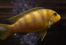 Kenyi Cichlid Metriaclima lombardoi 5 cm Tropical Fish