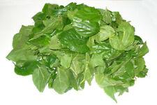 Bolsa de 500 grs de hojas de morera Morus Alba para gusanos de seda
