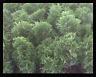 Arborvitae Thuja Emerald Green 4 inch pot
