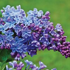 3  BLUE LILAC TREES PLANTS ** 6-10  INCH *** SHRUBS TREES LIVE PLANTS BLOOMS