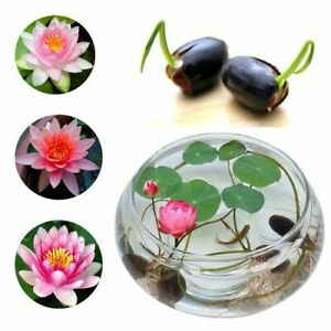 100 pcs Lotus seeds Water Lily Bonsai Seed Garden Multiple Colour