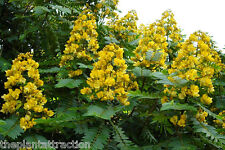 Senna Siamea 20 Seeds, Cassia Kassod, Thailand Garden, Flowering Shower Tree USA