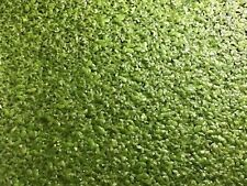 duckweed indoor nursery grown organic, highly nutritious food source for fish