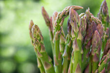 "Mary Washington Asparagus *Heirloom* (100 Seed's) "" FREE SHIPPING"" <NON GMO>"